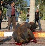 Los turcos mutilan a los animales antes del sacrificio para su fiesta sanguinaria