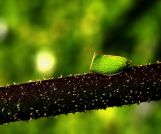 Mimikry von Siphanta als Blatt